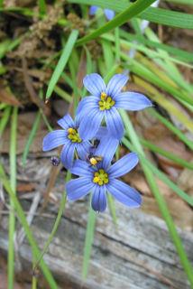 Blue-eyed grass2