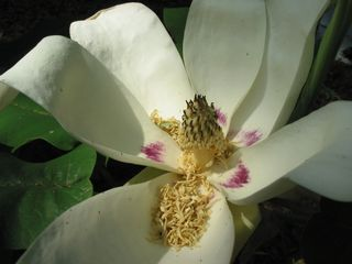 Ash Magnolia Bloom
