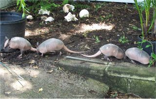 Line of baby armadillos