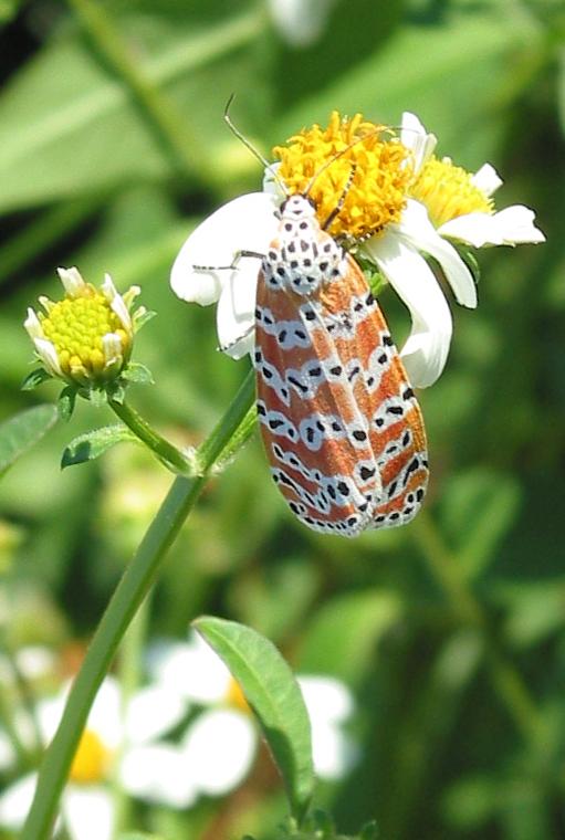 Rattlebox Moth 2