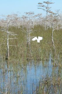 Crop Dwarf Cypress Forest Egret Flying