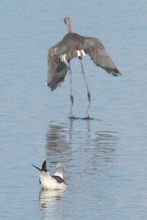 Reddish Egret (changing) and Seagull