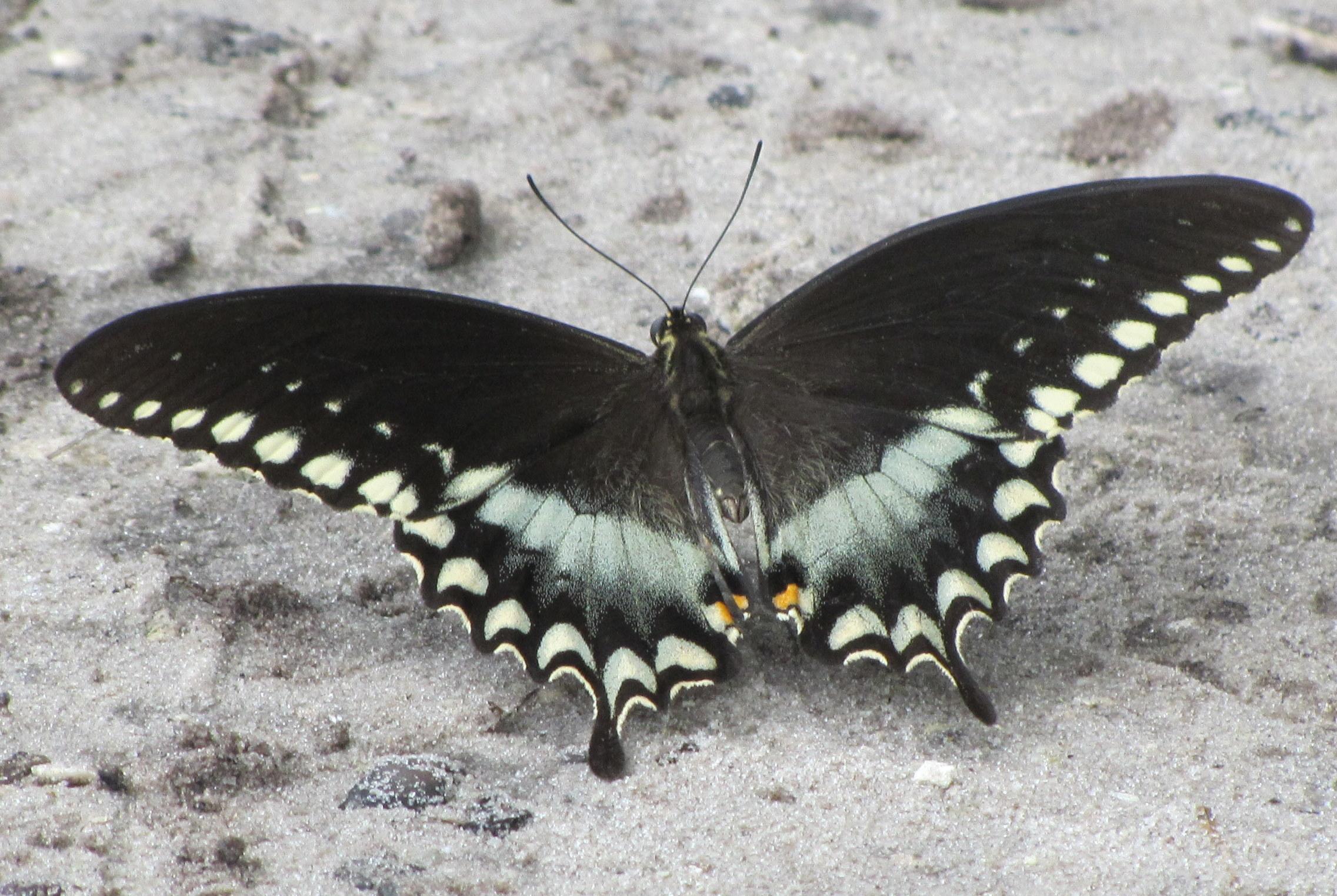 Swallowtail 11