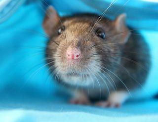 Happy rat 2