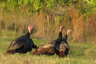 Wild Turkeys at Kissimme Prairie Preserve