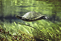 Photo Credit: Bill Curtsinger  http://www.greatbigcanvas.com/painting-picture-photo/turtle-swimming-underwater-florida-41191
