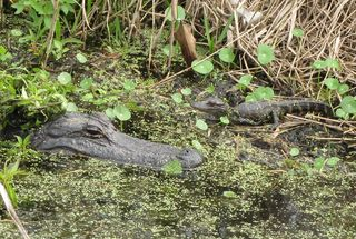 Alligator and baby at Kissimmee Prairie Preserve