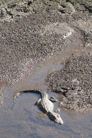 Alligator mud 2